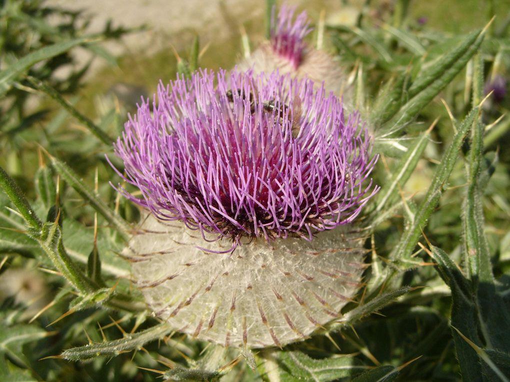 Photos de plantes sauvages que j'ai prises dans les Pyrénées.