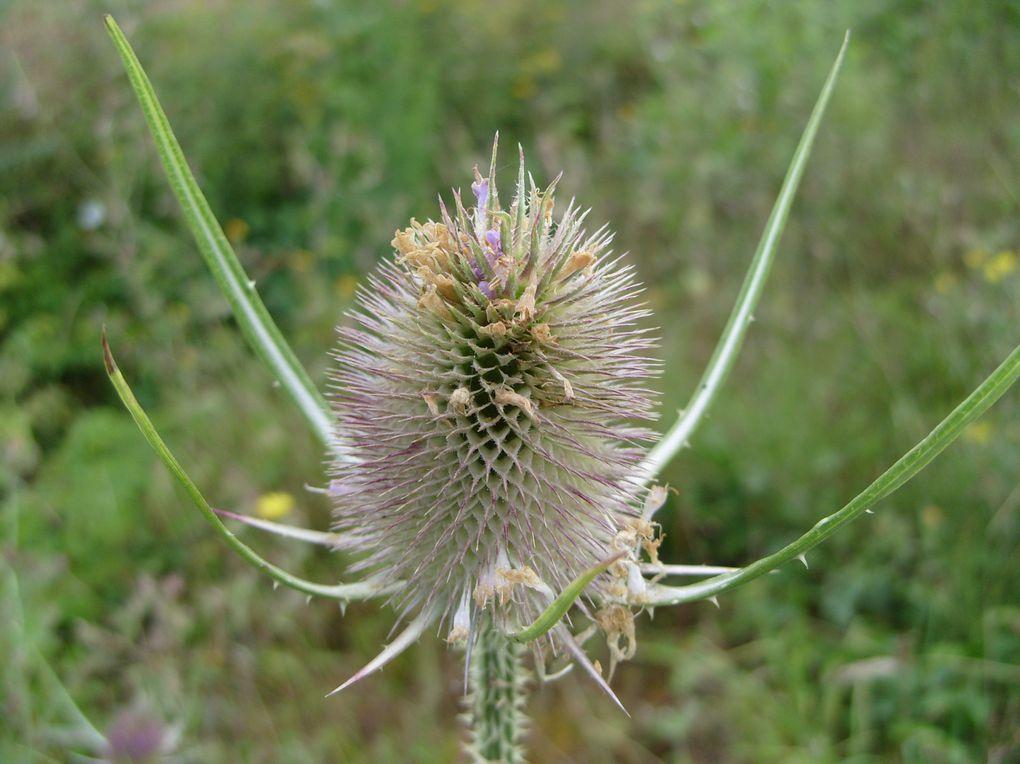 Photos de la flore sauvage que j'ai prises dans le Béarn