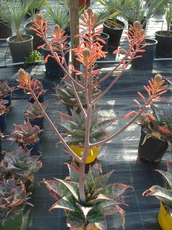 Photos que j'ai prises dans une jardinerie située à Carqueiranne (83) et spécialisée dans les cactées, plantes succulentes et plantes méditéranéennes