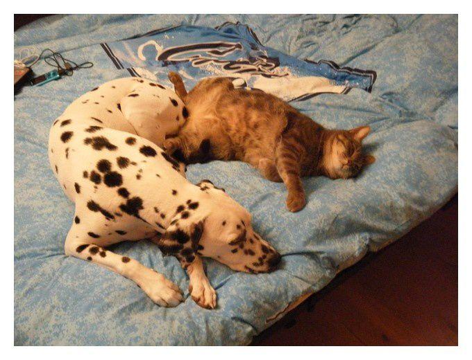 """Quand on vous dis que le dalmatien s'entend parfaitement avec les chats! Caly et Sunchine en sont le parfait exemple!   D'ailleurs pour rester sur Caly vous pourrez la retrouver sur TF1 Lundi Soir dans la série  """"Soeur Marie thérès"""