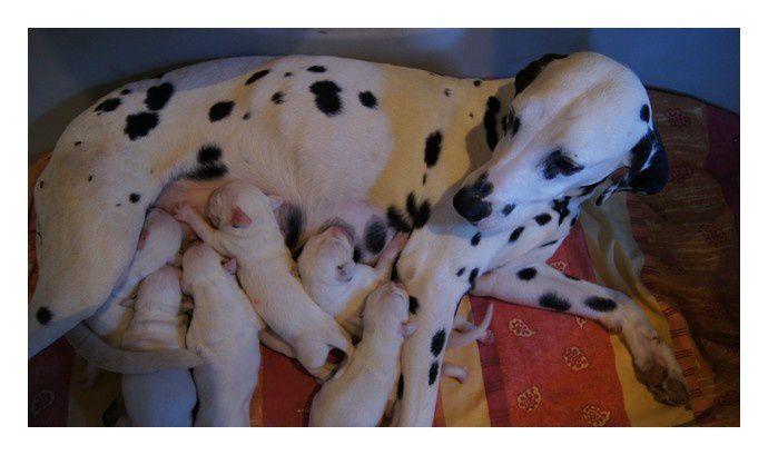 Voici les 1ères photos des 7 chiots de Dante et Ivy qui sont nés le 21 Mai 2011!Pour tout renseignements concernant une réservation:elevageduresdalmont@orange.frTéléphone: 04.68.69.64.85