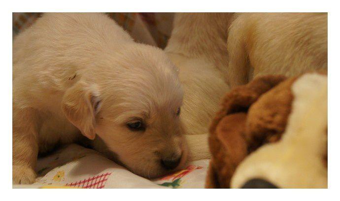 Nouvelles photos de nos 4 blondinnets qui ont désormais leurs yeux grands ouverts!Ces chiots seront disponibles Fin Octobre 2012!