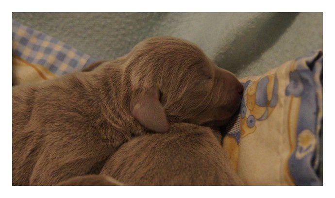 Nous avons le plaisir de vous annoncer la Naissance, Dimanche 26 Août 2012, des  7 bébés de Blue Gray Huter et Walkyrie dont voici les 1ères photos!