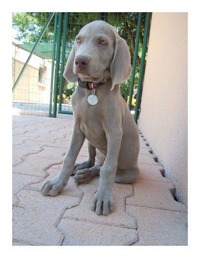 Voici l'évolution de Notre belle Jaya Grey. Passant d'un bébé à unebelle et grande jeune chienne agée d' 1 ans et 4 mois.