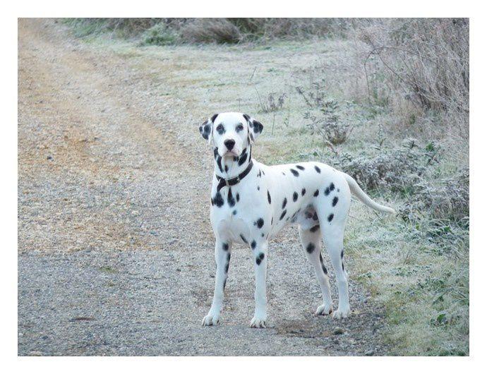 voilà quelques photos d'Iron qui a déjà 1 an !! C'est un chien très intelligent, qui comprend tout parfois avant même qu'on ouvre la bouche, qui aime toujours autant les calins et qui devient assez protecteur surtout avec maman. Il raffole tou