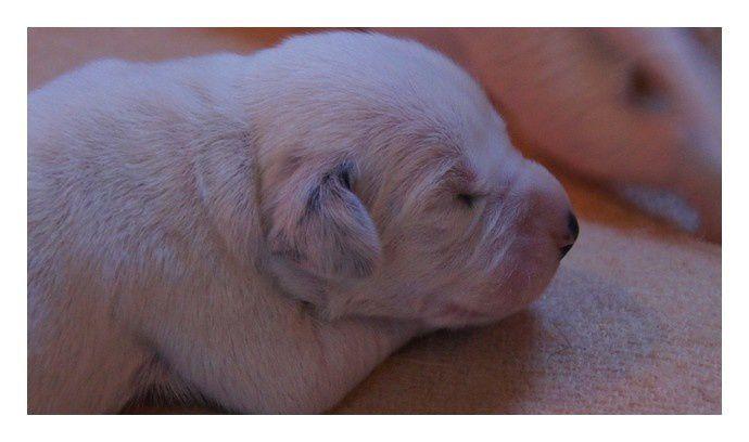 Beauty est fier de vous annoncer la Naissance, Samedi 25 Février, de ses 6 bébés avec Bruce dont voici les 1ères photos!   Pour tout renseignements concernant les réservations:   E-Mail: elevageduresdalmont@orange.fr   T