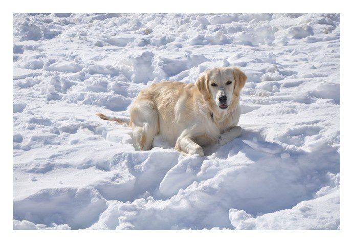"""""""Je vous envoie quelques photos de Shiny (Sun Shine, fille de Zoé et Benji) lors de nos vacances à la neige où elle s'est bien amusée!  Voilà presque un ans déjà que nous l'avons et elle fait partie intégrante de la famille &#x3B; elle a un cara"""