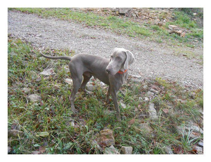 """""""Voici quelques photos de Indy qui est un chien de chasse extra et aussitrès câlin mais un peu collant.On l'adore!"""""""