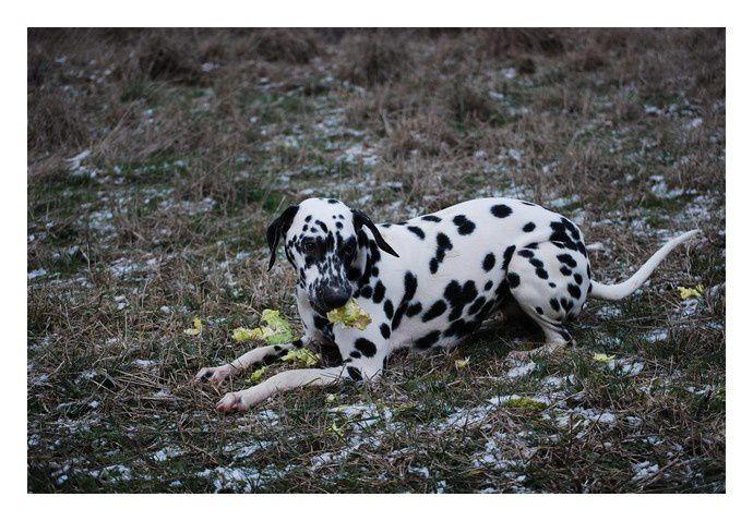 Melka va bien, elle est toujours aussi joueuse et adorable.Elle s'est révélée être un chien truffier lors d'une initiation au cavage pendant la formation d'éducateur canin que j'ai effectué il y a plusieurs mois.