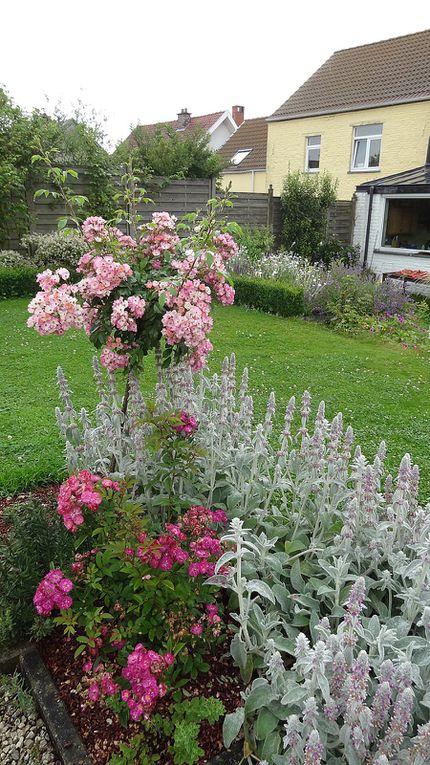 Album - roses hybride-de-Moschata