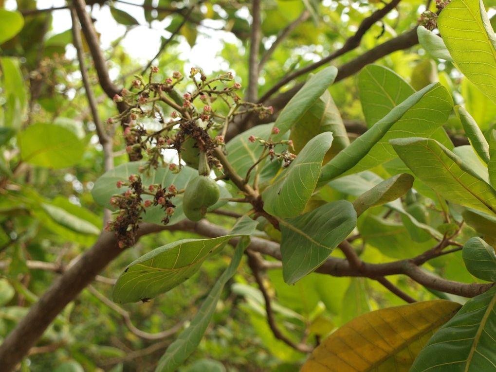 Arbres et fruits du Bénin