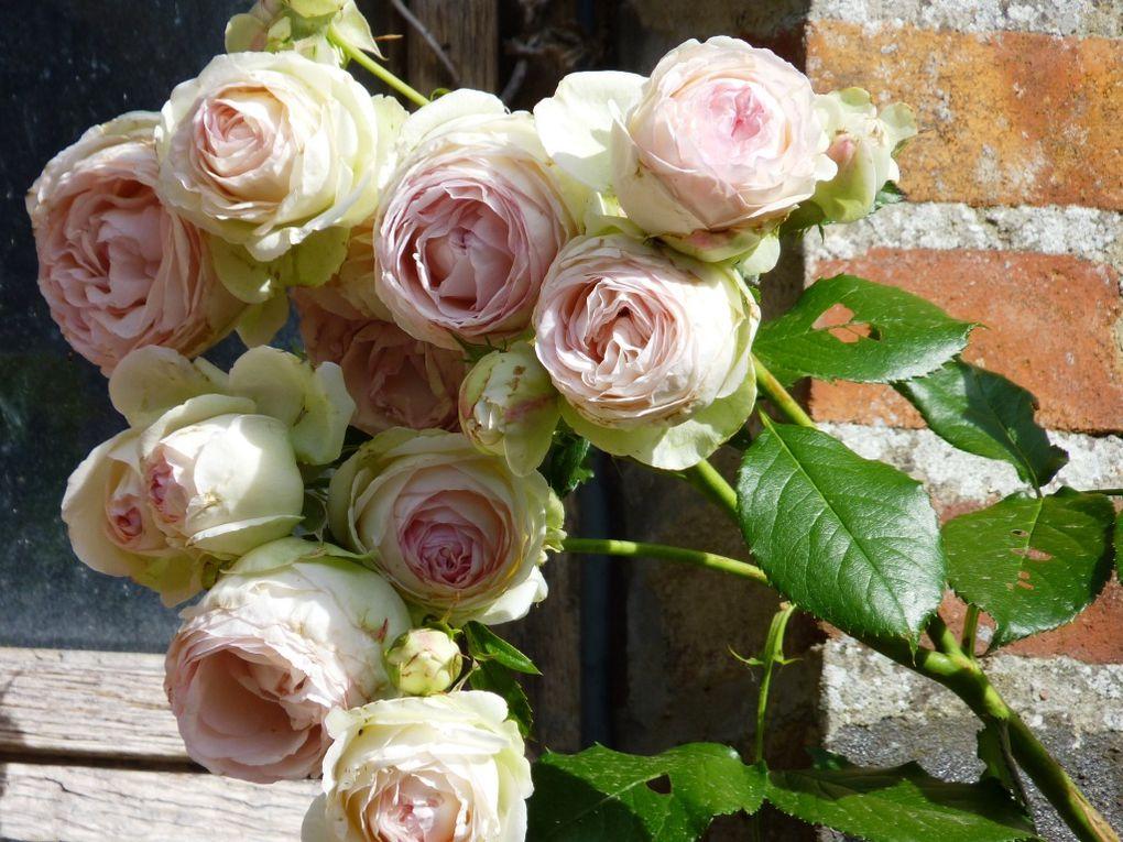 Les roses de la Coudraie