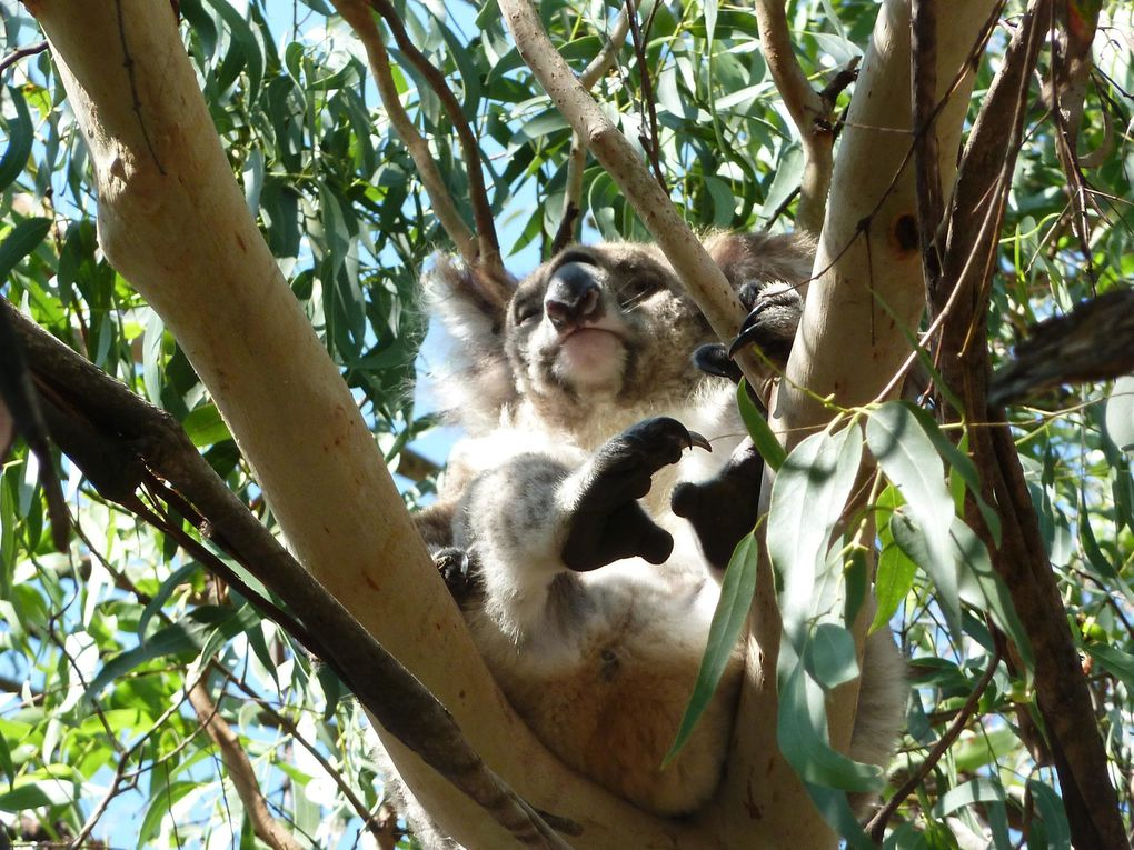 Album - Great-Ocean-Road-et-les-koalas