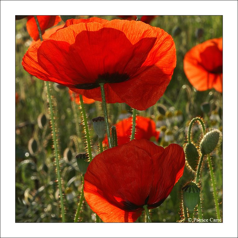 "Coquelicots du Pays de Caux, région de Haute-Normandie / Poppies from ""Pays de Caux"", in Normandy."