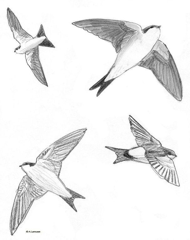 Alban Larousse - Oiseaux