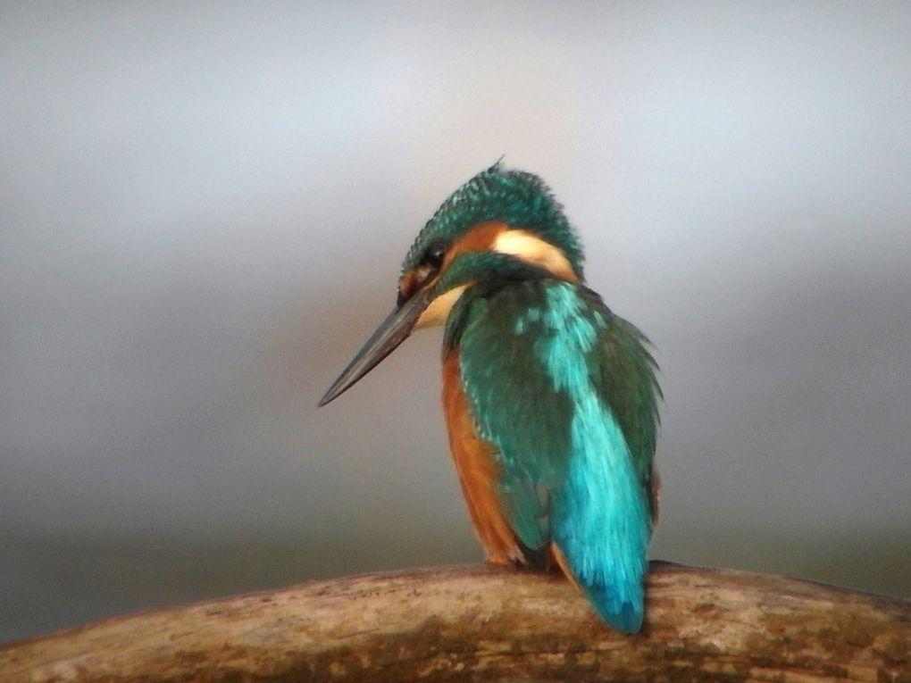 Album 4b - Martin pêcheur 2012/13/14