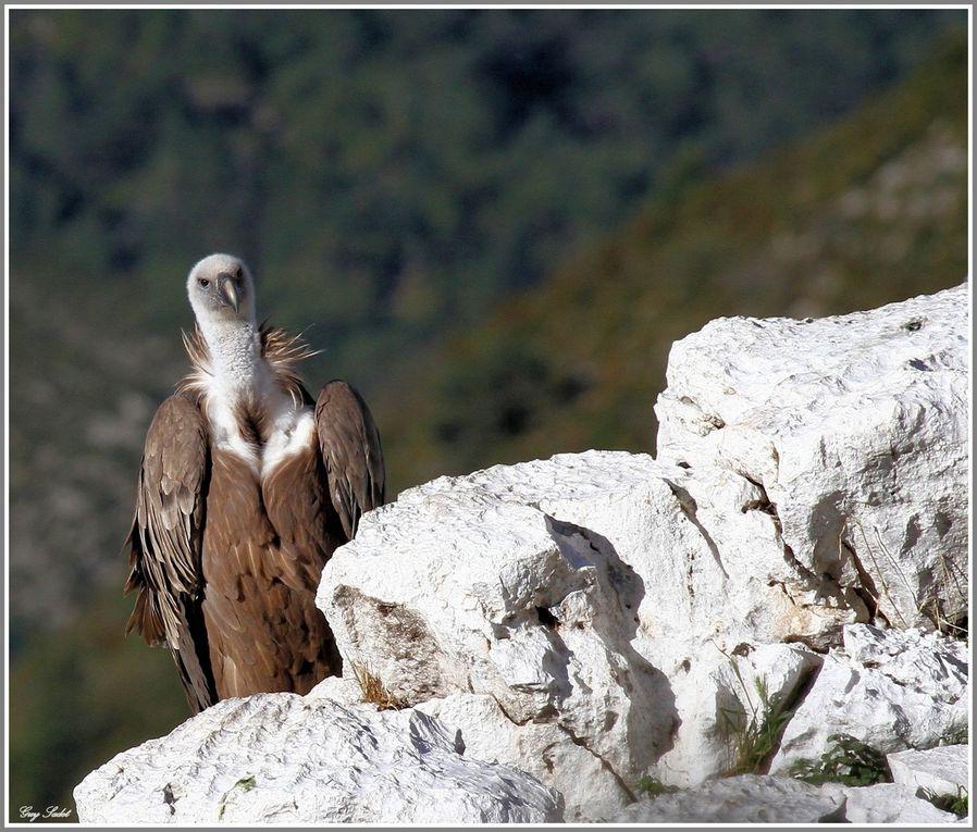 A Rougon - Alpes de Haute-Provence - où ces images ont été prises, il est possible d'apercevoir dans le ciel ou sur les falaises des gorges des vautours fauves introduits dans le Verdon durant la période 1999-2004. Cette colonie se reproduit...
