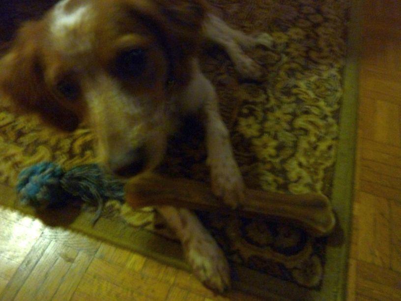 Pour son 7ème mois-versaire, Filou a reçu un ENORME os ! Et pas touche, à condition de lui rendre... Il n'est vraiment pas méchant, mon chien !!