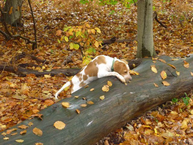 Même sous la pluie, Filou joue avec les feuilles &#x3B; il a du pep's !!