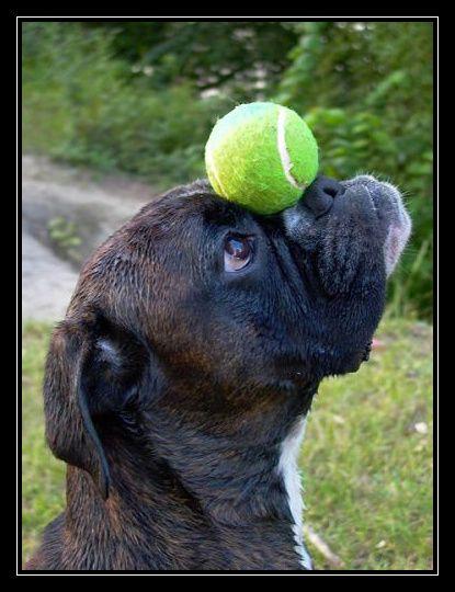 """Mon best of de la galerie photo """"Boxers Insolites"""" sur www.chien-boxer.com."""