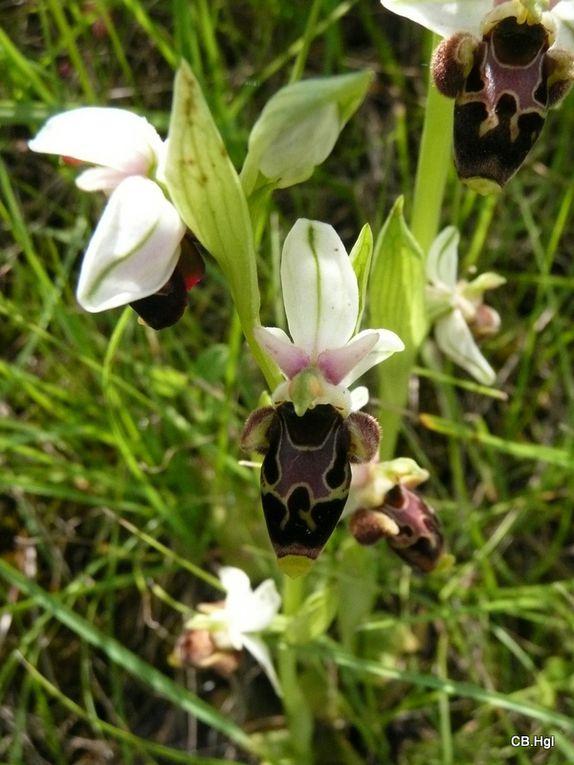 Orchidées photographiées au cours de nos diverses randonnées en France métroploitaine