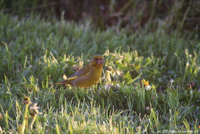 Album - Oiseaux-du-jardin