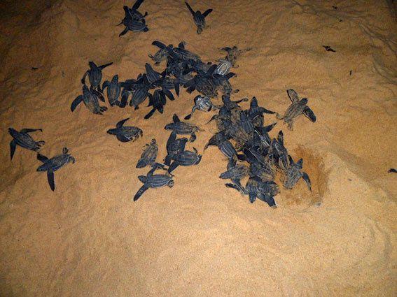 De juin à septembre, les jeunes tortues Luth émergent des nids et se lancent à l'assaut des plages pour rejoindre l'océan. Un spectacle naturel intense ! Photos (c) Brittia Guiriec