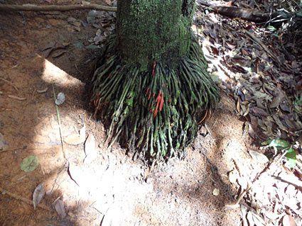 Massif de Lamirande : la forêt primaire (= jamais touchée par l'homme) à quelques kilomètres de Cayenne ! Photos (c) Brittia Guiriec