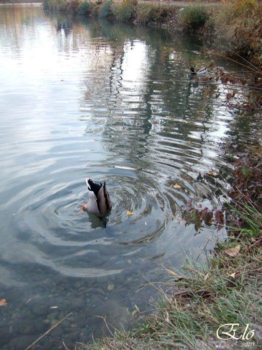 les canards vivent, dansent, plongent dans leur petit lac.