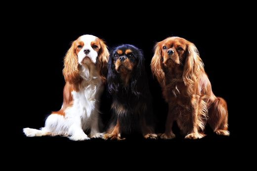 Photos studio de Cavalier King Charles and Co.