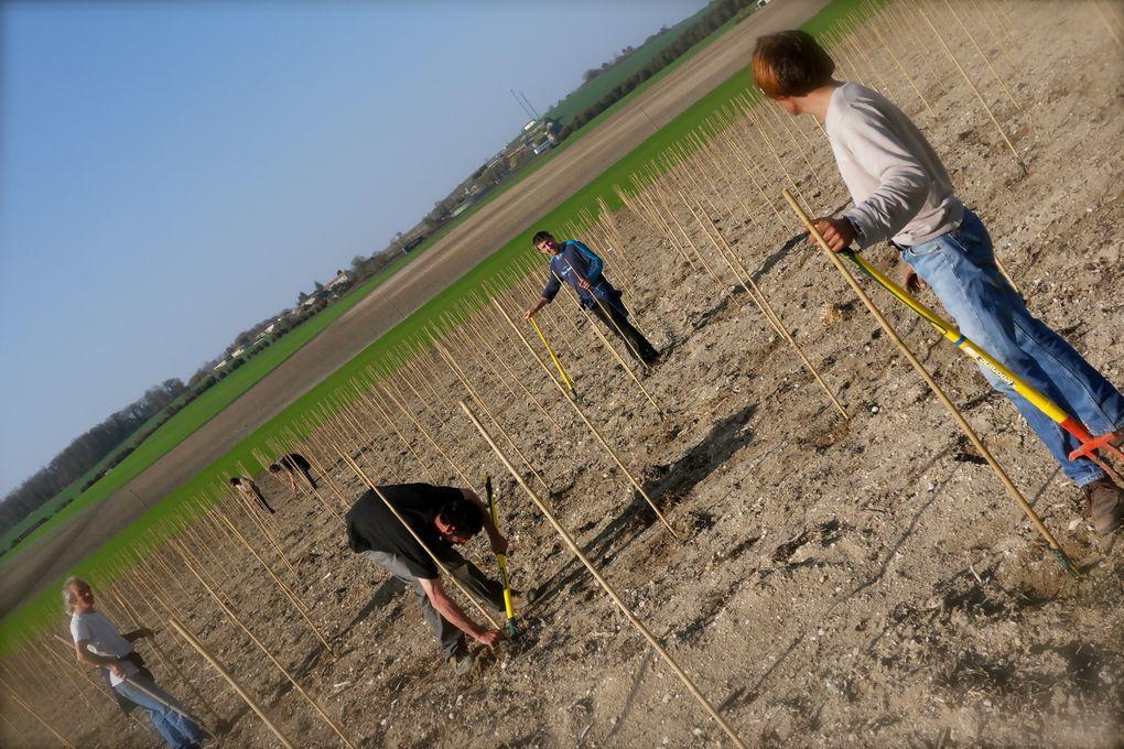 Plantation de vigne d'Ugni-Blanc sur terrain argilo-calcaire. Début Mars 2011.