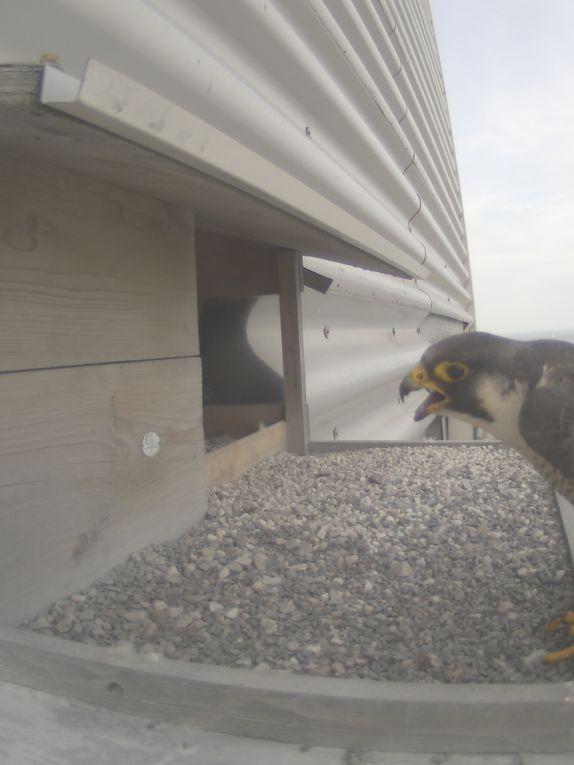 Nos plus belles photos des faucons