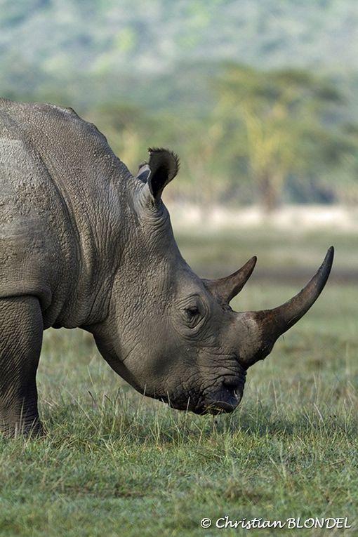 Quelques photos du safari au Kenya, autre que les oiseaux, voir dossier spécial oiseaux.