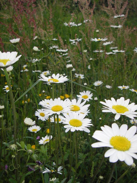 Cet  album  est  un  ensemble  de  photos  de fleurs de  mon jardin, et  sauvages ...
