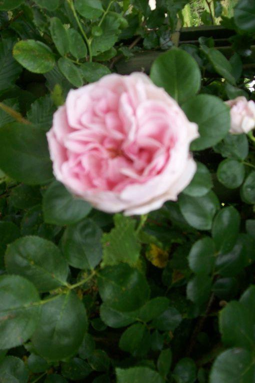 """Toutes ces roses ont été""""cueillies"""" en mai 2011 auparc Maupassant qui fêtaitla rose."""