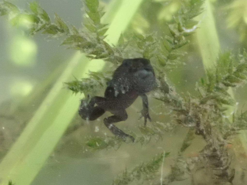 Voici quelques photos en rapport avec les grenouilles que j'ai élevées. (Certainnes photos qui sont sur mon blog ne sont pas dans l'album car elles ne sont plus disponibles.)