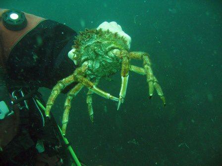 Faune et flore rencontrée lors de plongées dans la baie de Saint Malo (Ile-et-Vilaine)