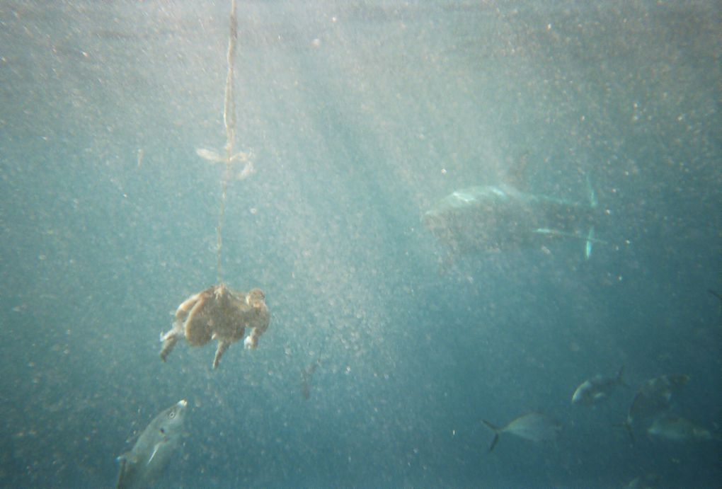 Pictures of my cage dive amongst the Great Whites in Neptune Island