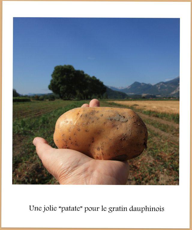 Ramassage de pommes de terre