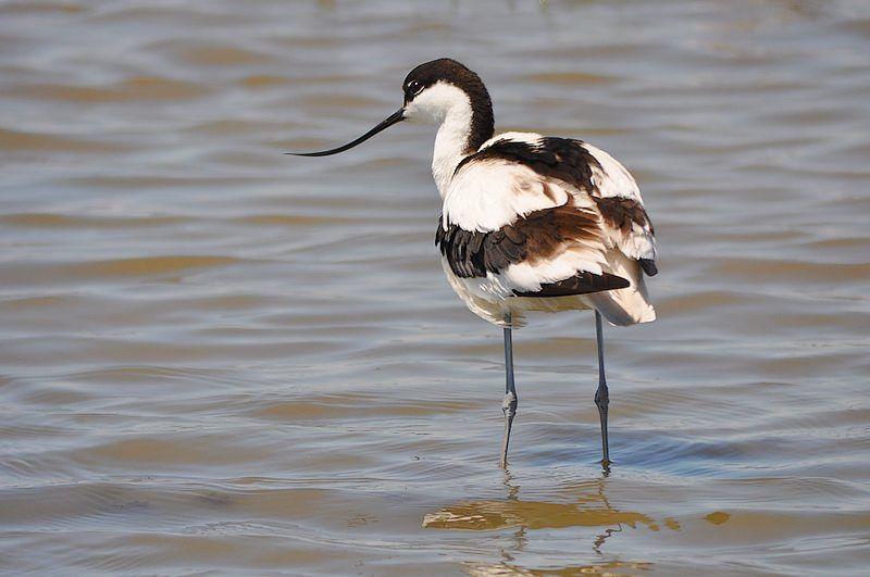 L' Avocette élégante ( Recurvirostra avosetta ). Ordre : Charadriiformes, n'est pas un oiseau très commun. celles-ci ont été photograpiées en Petite Camargue.