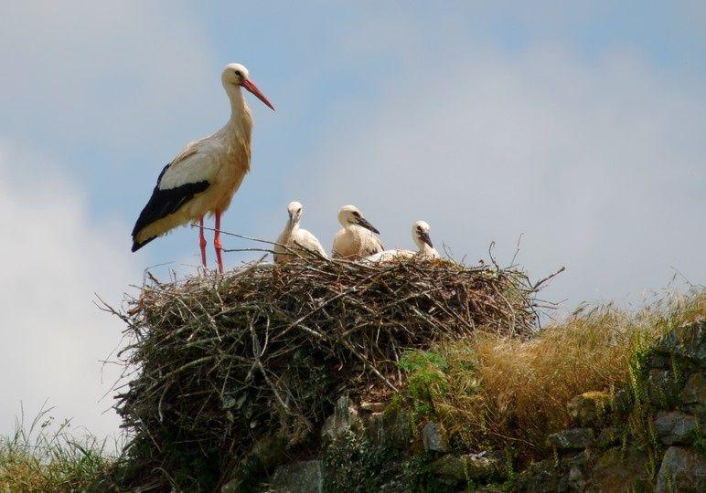 La Cigogne blanche (Ciconia ciconia) est très fréquente dans les marais normands où elle nidifie.