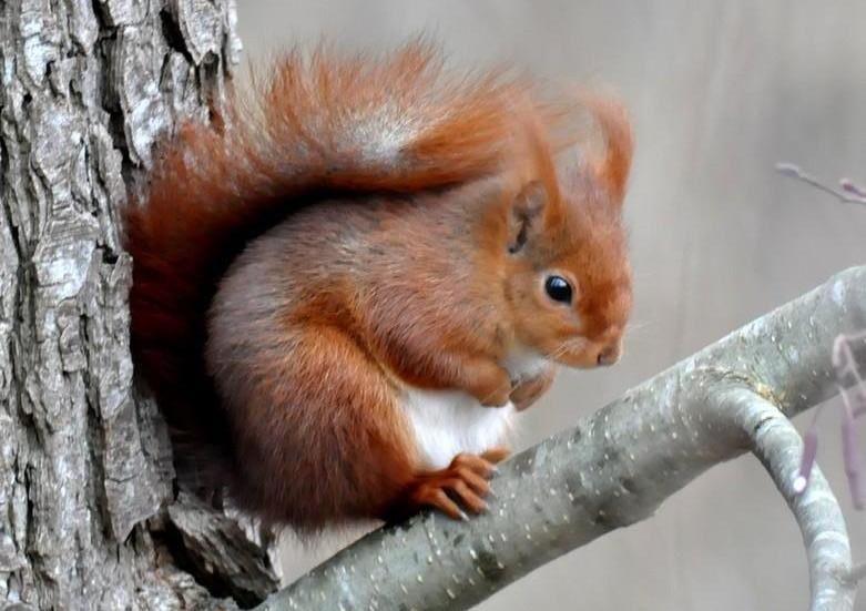 L'écureuil roux (Sciurus vulgaris), est un petit mammifère grimpeur qui vit dans les arbres.