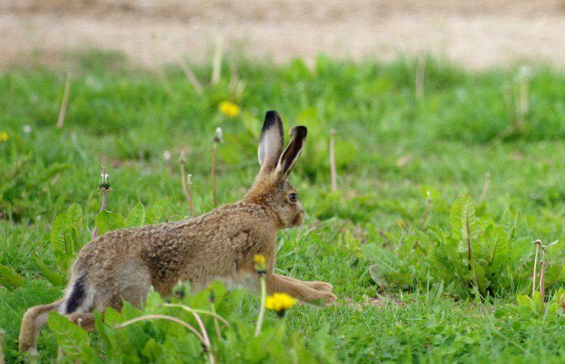 Le lièvre ( lepus) est un mammifère herbivore sauvage  ressemblant au lapin. Il diffère du lapin par ses longues oreilles au bouts noirs, son pelage est roux, et ses yeux légèrement saillants. C'est un solitaire, sauf en période de reproduction