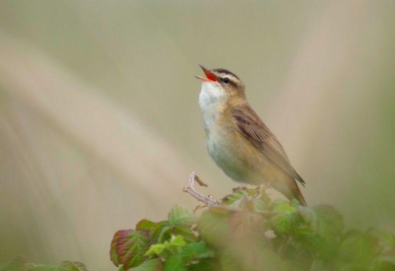 La Phragmite des joncs (Acrocephalus schoenobaenus), est ce petit oiseau bruyant que l'on entend dès le printemps et une partie de l'été, au bord des roselières.