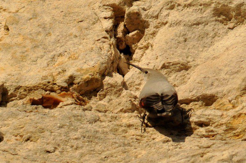 le Tichodrome échelette (Tichodroma mararia) en plumage  d'hiver.