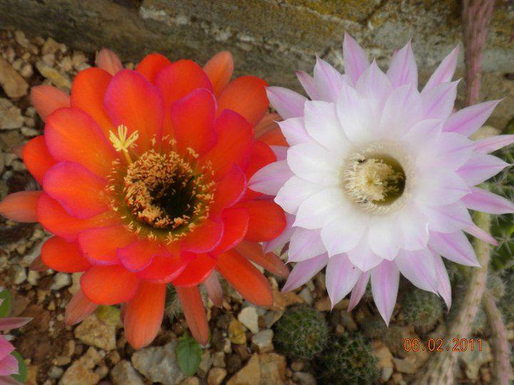 Fioriture dei miei cactus