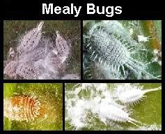 Some of the most common pests and diseases bothering house plants.