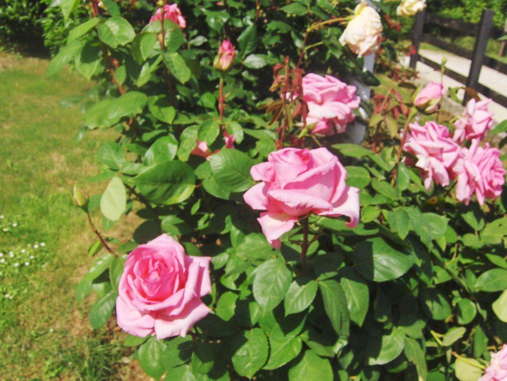 Album - fleurs-de-mon-jardin