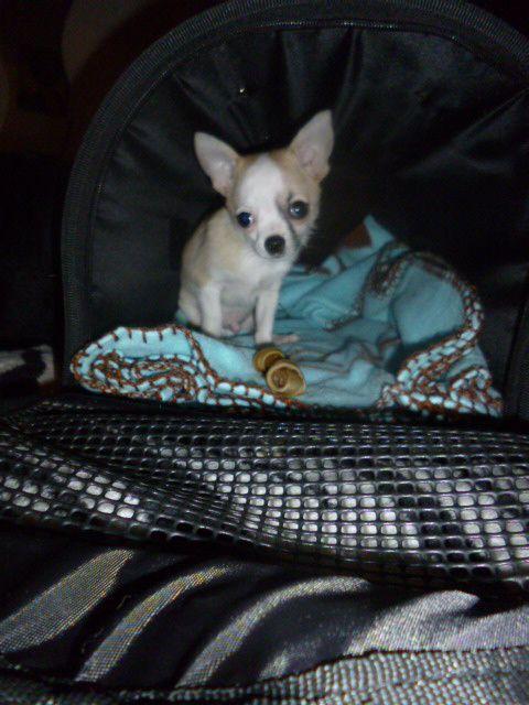 Chihuahua Harley né le 10/12/2012