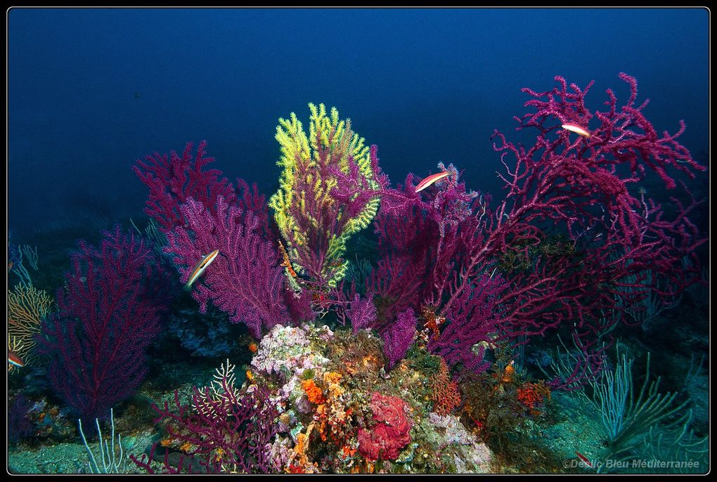 gorgone, purple gorgonian